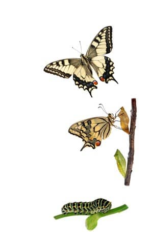Butterfly Metamorphosis illustrating PPC